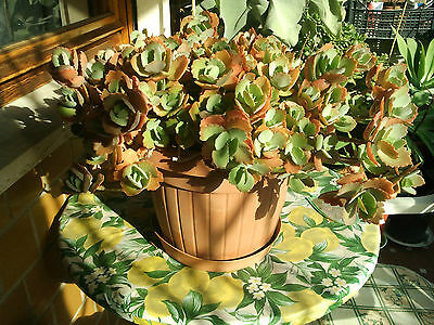 BEAUTIFUL PLANT Kalanchoe fedtschenkoi 2 CUTTINGS easy2root,succulent,greenhouse