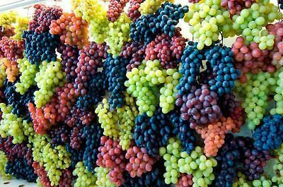 20 FRESH SEEDS of GRAPES Pizzutello,Red Globe,Italia,Vittoria,Palieri
