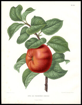 1879 AJ Wendel Chromolithograph The Apple Dutch Illustrated Work on Pomology