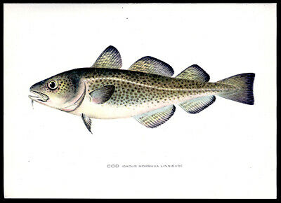 The Atlantic Cod Fish 1902 Sherman Foote Denton Chromolithograph  Hand-Colored