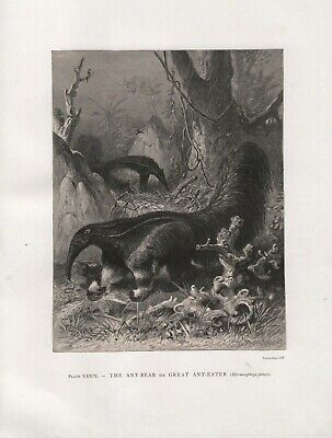 Old Original Antique 1885 Engraving Print Friedrich Specht The Great Anteater