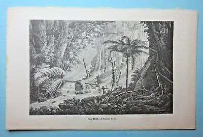 Antique Print of Trees, A Brazilian Forest, circa 1869