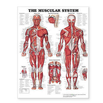 """The Muscular System Giant Chart Laminated. 42"""" x 62"""" chart by Anatomical Chart C"""