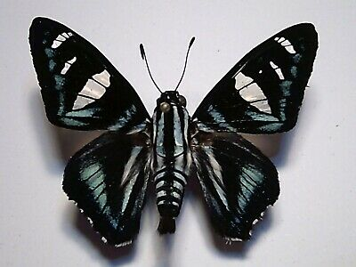 Real Butterfly/Insect Set/Spread B4870 Rare Skipper Jemadia gnetus/hospita 5 cm