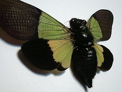 Real Butterfly/Insect/Moth Set-Spread B4882 Trengganua sybylla Lge 10+ cm Cicada