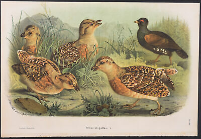 5-1865-1868 Storia Naturale Degli Uccelli... Bettoni Common Quail