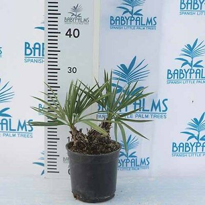 Trithrinax campestris height 25-35 cm two trunk