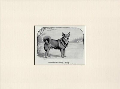 Norwegian Elkhound Old Antique 1902 Named Dog Print Ready Mounted