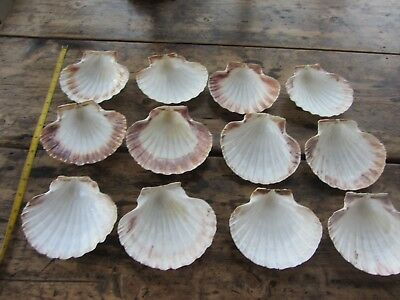 12 Number Scallop Shells - cookery / Craft / Floral Arrangements Croque St Jaque
