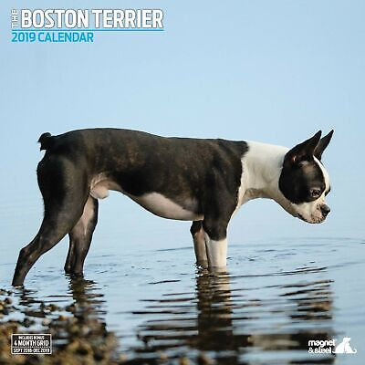 Boston Terrier Traditional 2019 Calendar