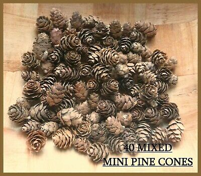 40 Mini Pine Cones - Natural -Uk Seller - 1St Class Postage - 1 Day Dispatch