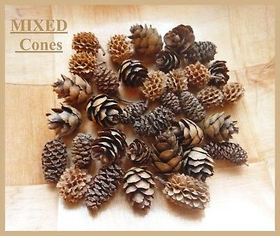 21 MIXED MINI pine cones in 3 different types - UK Seller - 1st CLASS POSTAGE