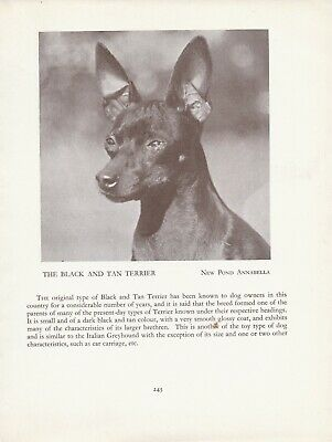 English Toy Black And Tan Terrier Old Vintage 1934 Named Dog Print Page