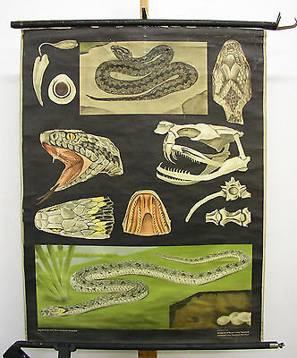 Beautiful Old Schulwandkarte Grass Snake Viper Jkq 84x109 Vintage Map~1955