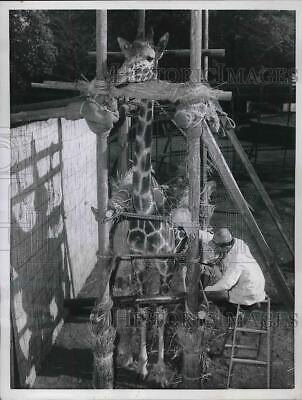 1957 Press Photo Nagako, Giraffe Held by Scaffold at Nogeyama Zoo as Vet Checks