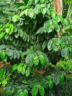 Coffea - COFFEA ARABICA - 9 Seeds Exotic Tree