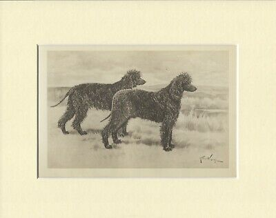IRISH WATER SPANIEL OLD ANTIQUE 1898 DOG PRINT by ARTHUR WARDLE READY MOUNTED