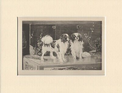 JAPANESE CHIN DOGS OLD ANTIQUE 1898 DOG PRINT by ARTHUR WARDLE READY MOUNTED