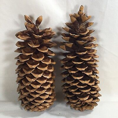 """Lot 2 pine cones 13"""" high x 3"""" wide brown sugar pines clean crafting supplies"""
