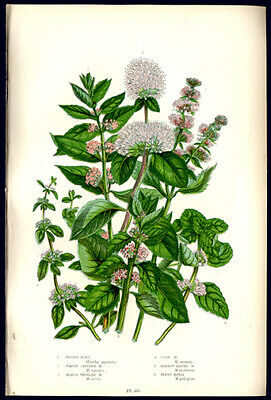 Peppermint & Cornmint Wildflowers 1905 Anne Pratt Chromolithograph Horticulture