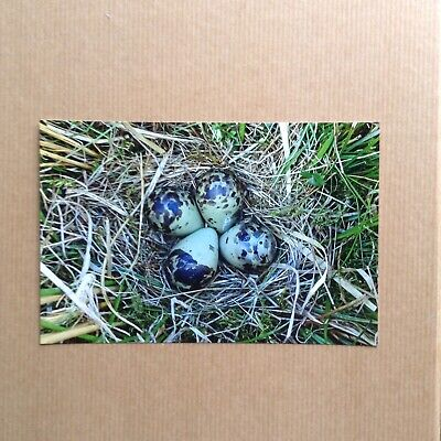 """Colour Photograph of a Snipe Bird Nest and Eggs.  6"""" X 4""""."""