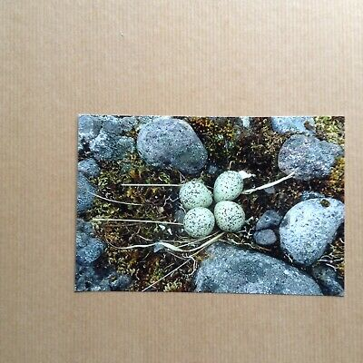 """Colour Photograph of a Ringed Plover Bird Nest and Eggs.  6"""" x 4""""."""