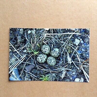 """Colour Photograph of a Lapwing Bird Nest and Eggs.  6"""" x 4""""."""