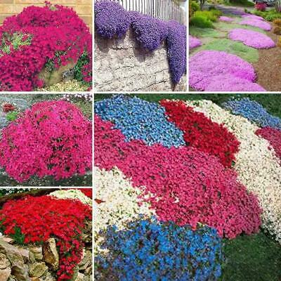 20pcs Aubrieta Deltoidea Seed Romantic Purple Mustard Home Garden Flower Seeds