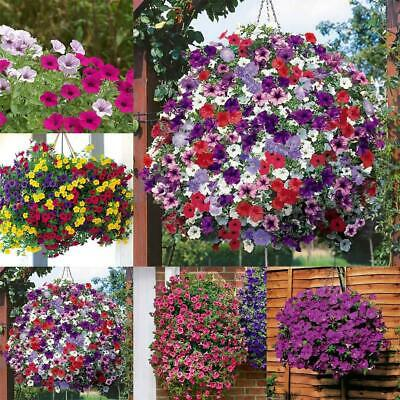 Petunia Hybrida 30 Seeds Hanging Baskets Containers Free Shipping Flowers