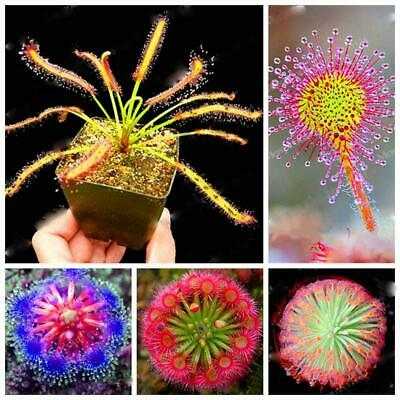 100PCS Mix Sundew Seeds Potted Flytrap Seeds Carnivorous Plants For Home ILOE 01