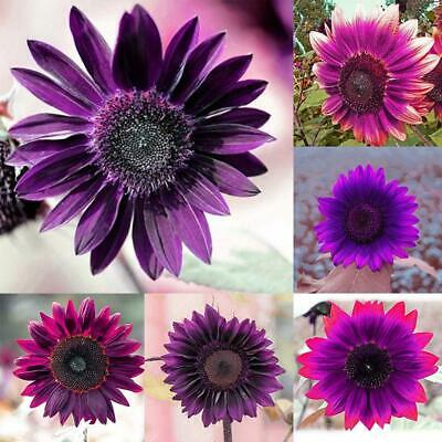 20pcs Rare Sunflower Seeds Perennial Flower Home Bonsai Garden Ornament ILOE 01