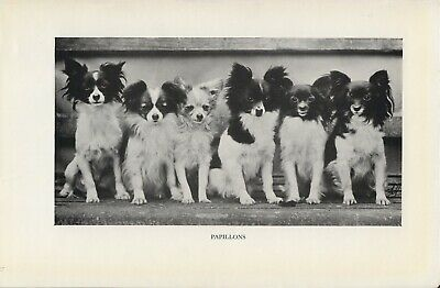 Group Of Papillon Dogs Old Vintage 1950'S Page Print