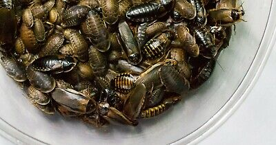Dubia Roach Starter Colony 200 Nymphs 20 Females 10 Male roaches
