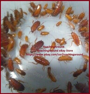 50+ Red Goblin Roaches (Paratemnopteryx Couloniana). Dubia & Red Runner Alt