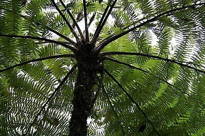 cyathea cooperi 2L - RARE fast growing tree fern potted plant