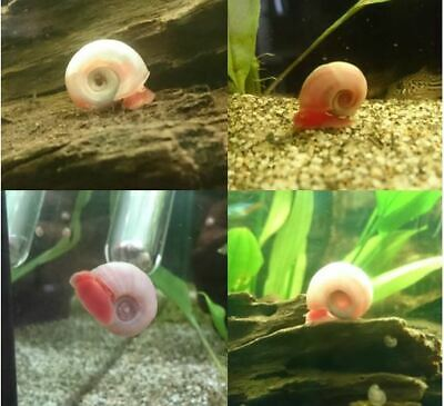Pearl Pink Red Ramshorn Aquarium Snails (A Grade) Tank cleaner/Puffer food