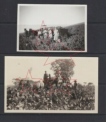 2 OLD VINTAGE photos PICKING WINE grapes on horse drawn cart BAROSSA VALLEY 1935