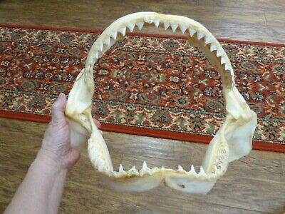 "(sj30-120-8) 14"" BULL SHARK A grade jaw teeth taxidermy love sharks ichthyology"