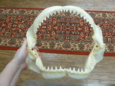"(sj30-120-18) 14"" BULL SHARK A grade jaw teeth taxidermy love sharks ichthyology"