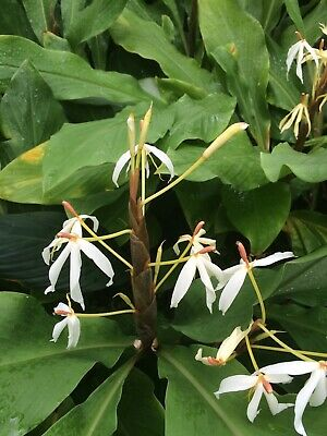 Hedychium hasseltii 2L VERY RARE GINGER