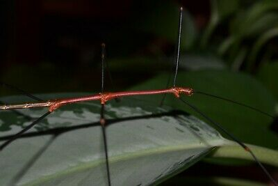 20 Lonchodiodes.sp. (Ilcos) stick insect eggs {MALES ARE BRIGHT RED}