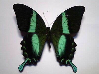 Real Dried Insect/Butterfly/Moth Un-set B5296 Large Blue/Green Papilio blumei A+