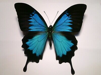 Real Dried Insect/Butterfly/Moth Non-set B5297 Large Blue Papilio ulysses  A+