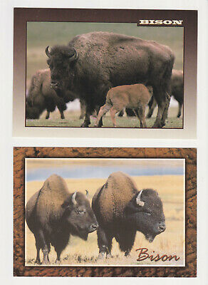 2- Postcards Bison animals Yellowstone National Park buffalo heards/ North Ameri