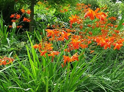 Summer Bulbs WPC Prins Quality Corms Montbretia New Pack 20 Crocosmia Mixed