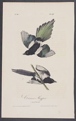 Audubon - Common Magpie. 227 - 1840 Birds of America FIRST ED