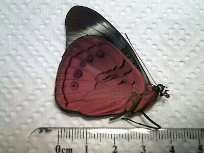 Real Butterfly/Moth/Insect Non Set B5342 Red Panacea regina A+ Brazil