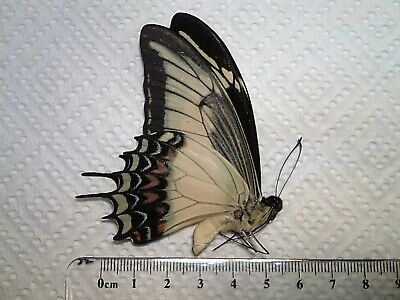 """Real Butterfly/Moth/Insect Non Set B5343 """"Old World"""" Papilio androgeus Peru"""