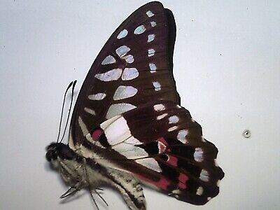 Butterfly/Moth/Insect Non Set B5363 Large Green/Red/Black: Graphium meyeri: A+