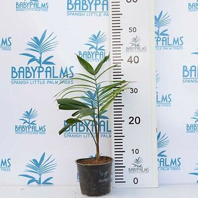 Areca Palm Tree P24cm  Butterfly Palm Dypsis Lutescens 120cm  4FT Free Delivery